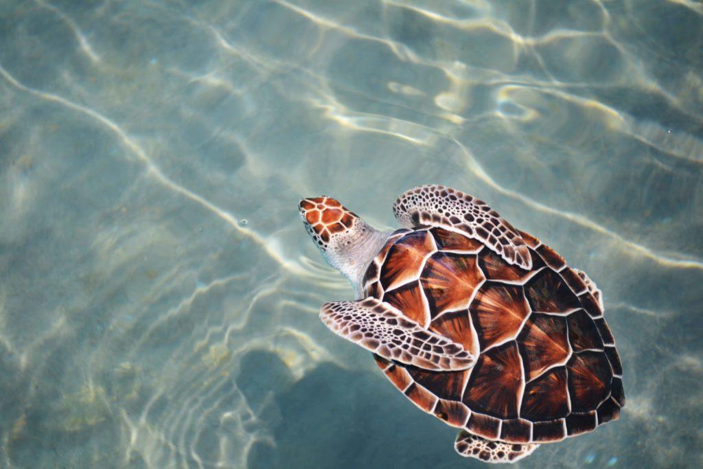 tortuga-marina-en-el-agua
