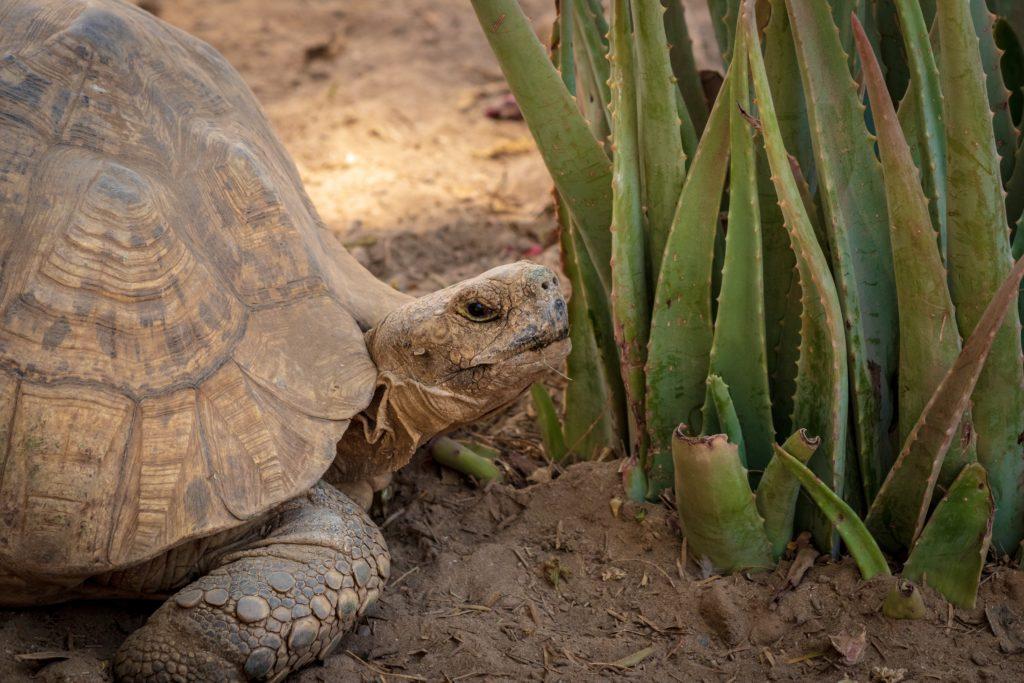 tortuga-terrestre-comiendo