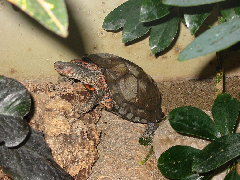 tortuga-dragon