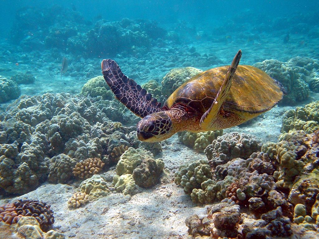 tortuga-verde-chelonia-mydas