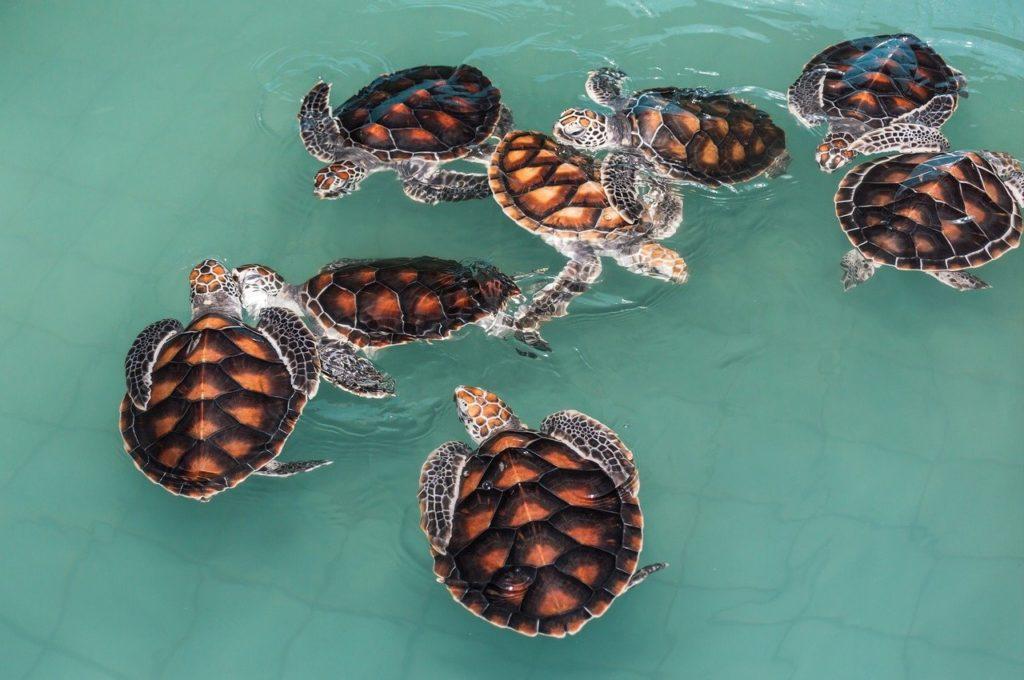 tortugas-de-agua-jugando