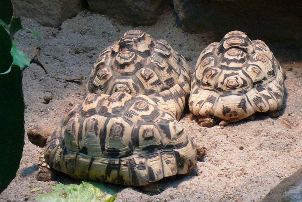 Stigmochelys-pardalis-tortuga-leopardo-5
