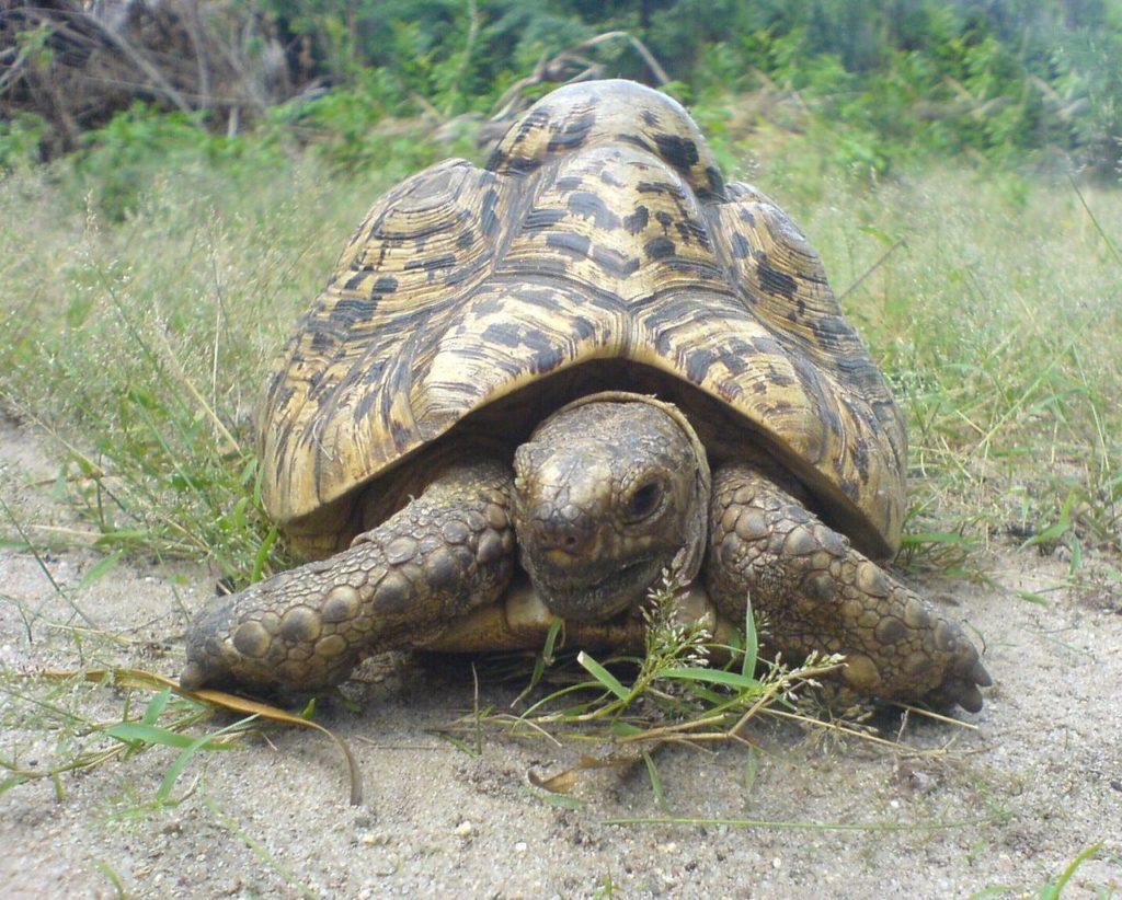 Stigmochelys-pardalis-tortuga-leopardo-6