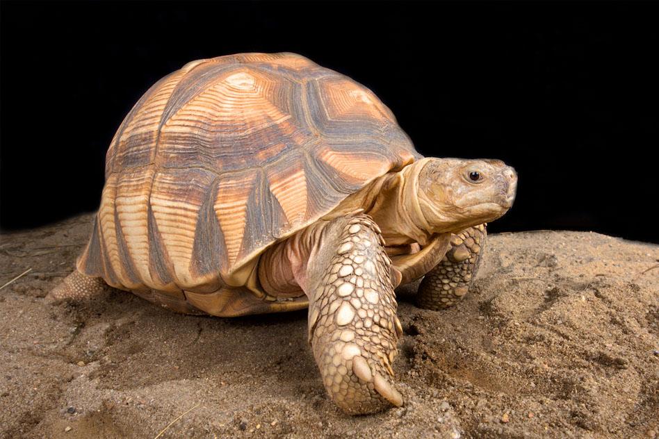 caparazon-blando-tortugas