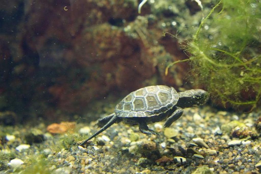 como-duermen-las-tortugas-de-agua