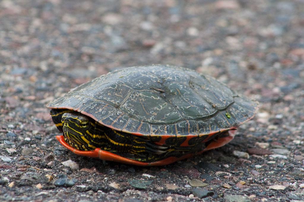 las-tortugas-pueden-vivir-sin-caparazon