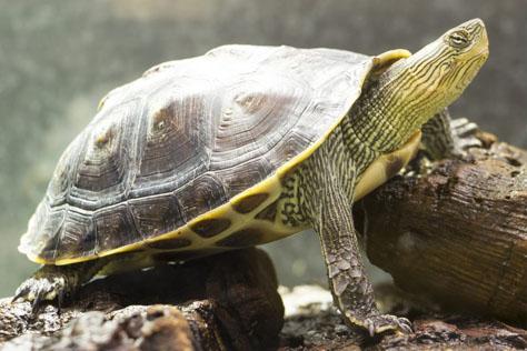 ocadia-sinensis-tortuga-cuello-rayado-china
