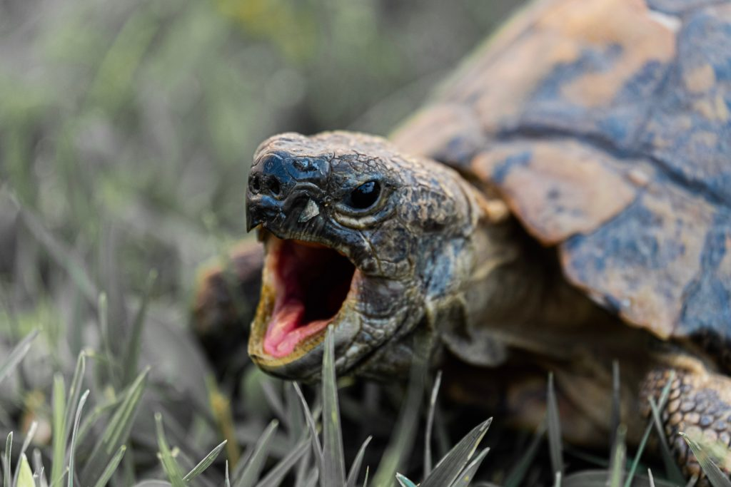 por-que-las-tortugas-no-tienen-dientes