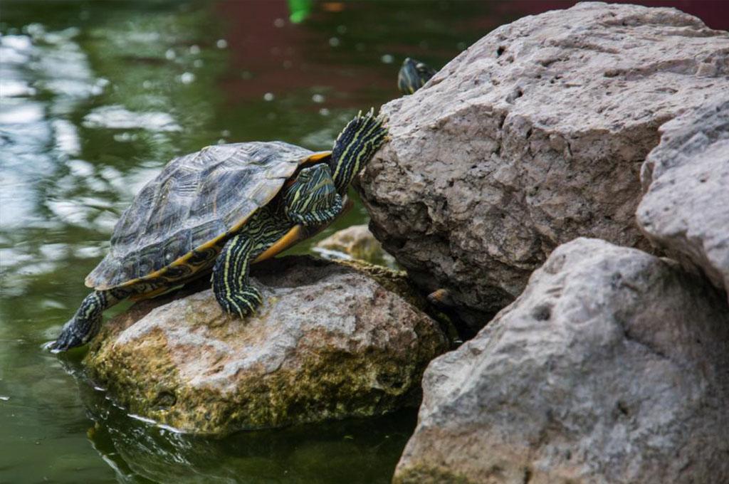 por-que-las-tortugas-tienen-cola