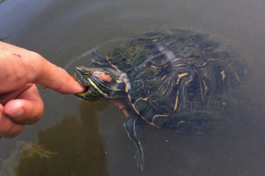 por-que-tortuga-muerde-otras-tortugas