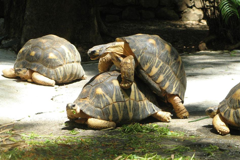 reproduccion-tortugas