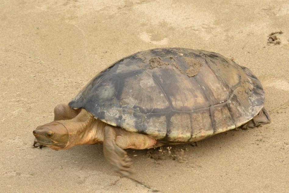 tortuga-blanca