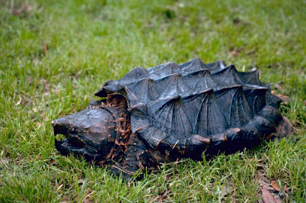 tortuga-caiman-Macrochelys-temminckii
