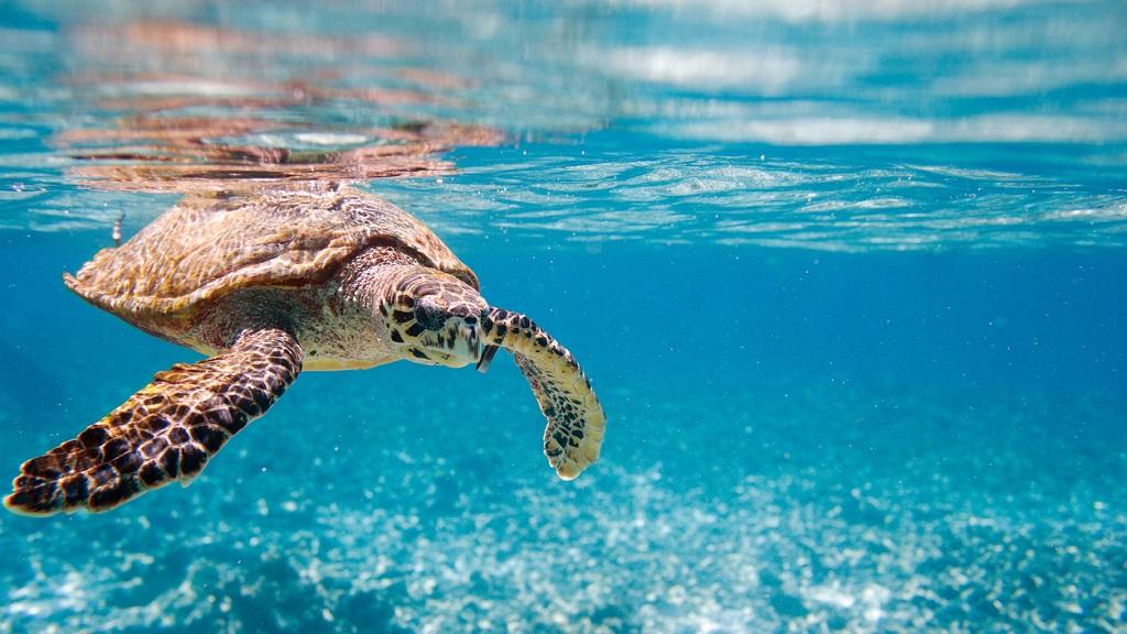 tortuga-carey-en-el-mar
