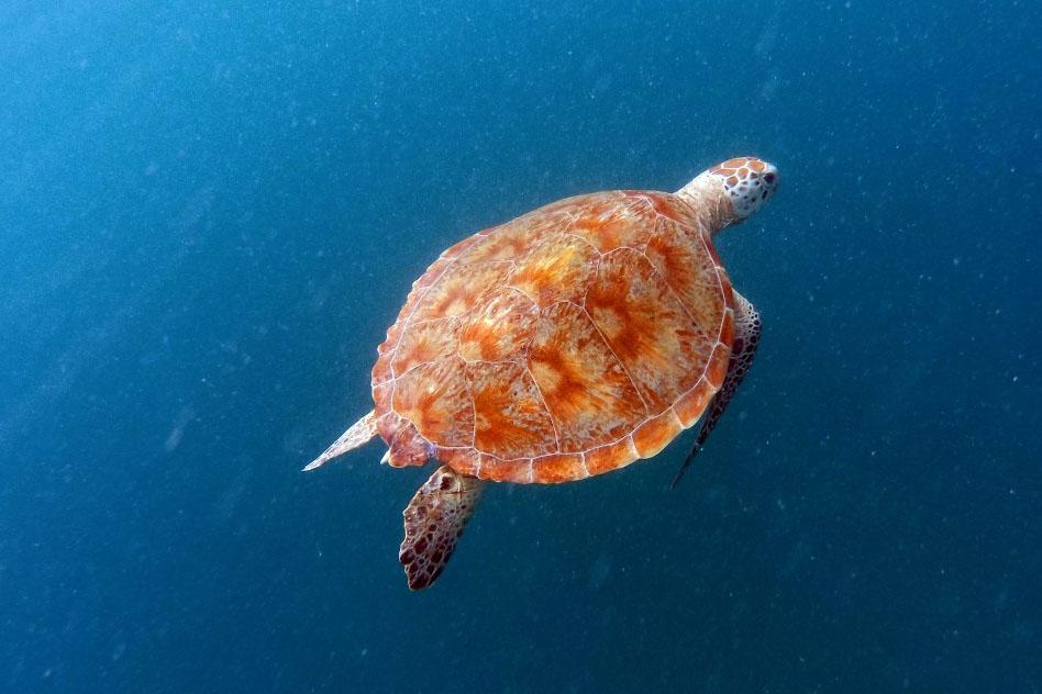 tortuga-carey-eretmochelys-imbricata