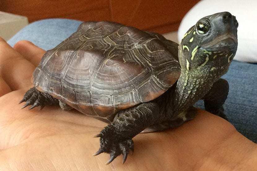 tortuga-china-crestas-maremuys-reevesii