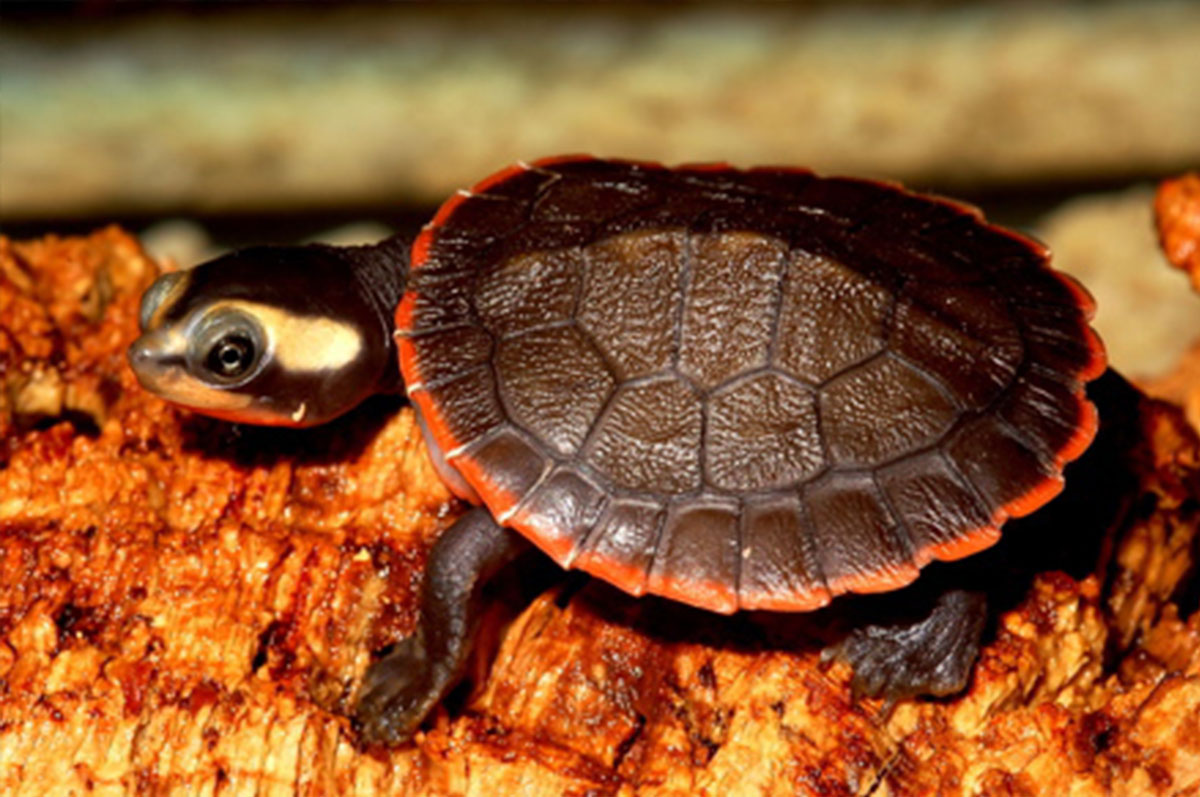 tortuga-cuello-corto-vientre-rojo-emydura-subglosa copy
