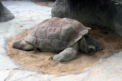tortuga-de-tierra-durmiendo
