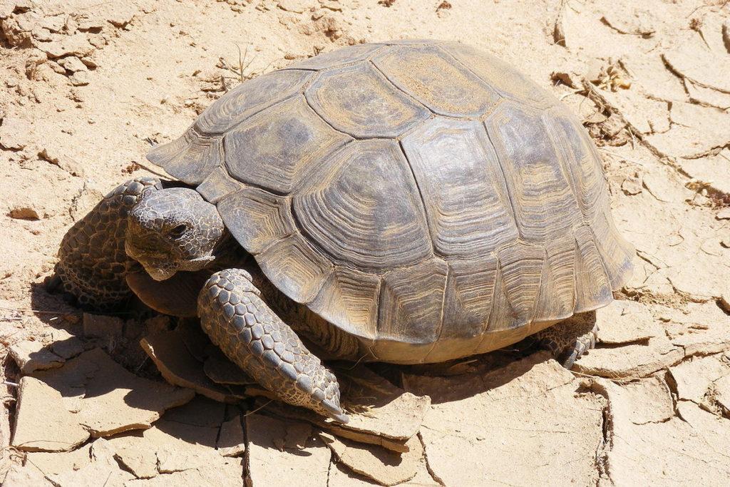 tortuga-del-desierto