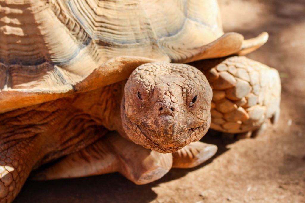 tortuga-desierto