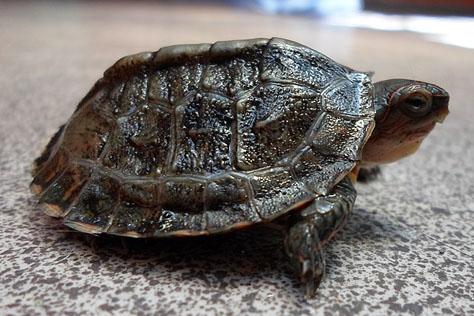 tortuga-dragon-rhinoclemmys-pucherrima