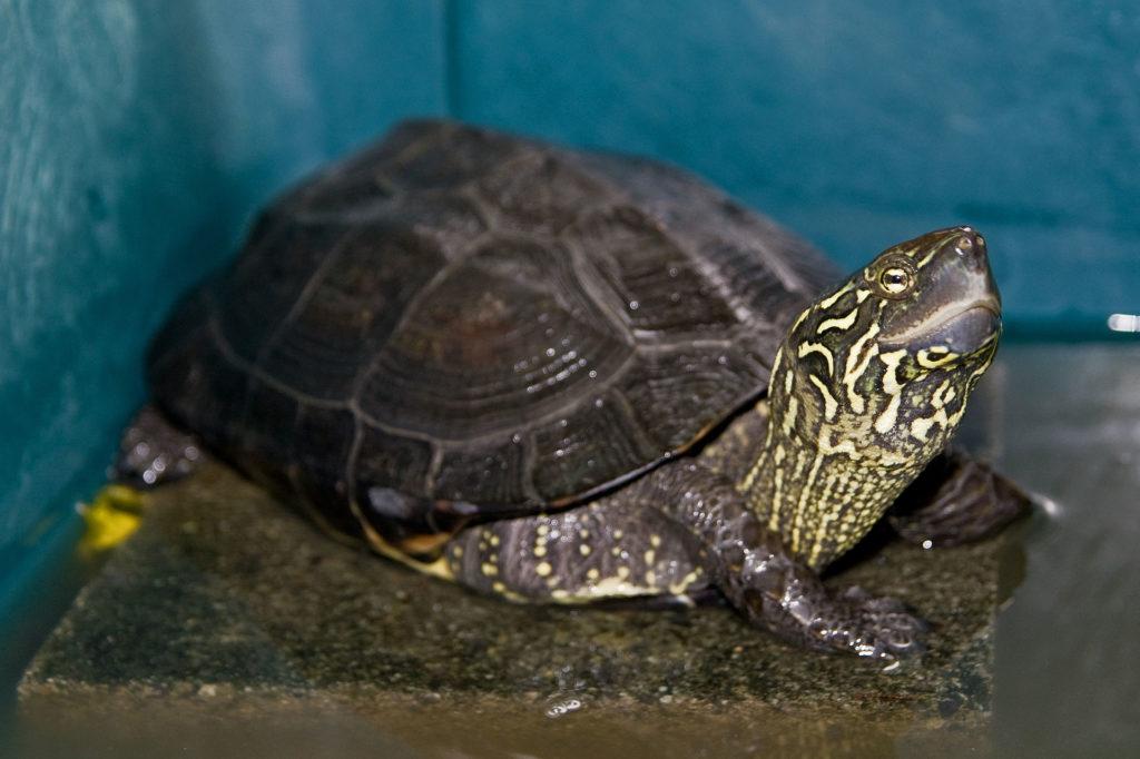 tortuga-estanque-tres-crestas