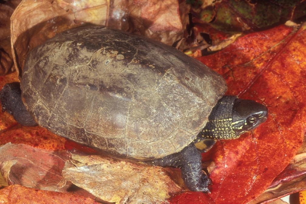 tortuga-de-estanque-china