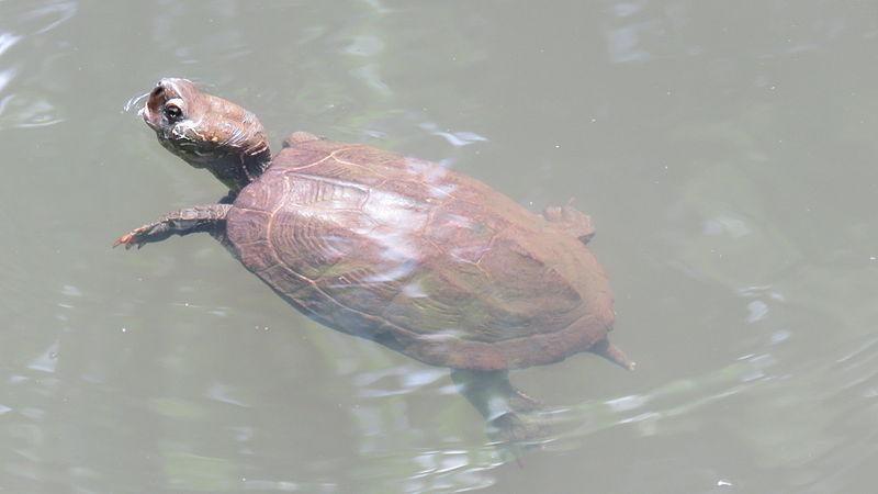 tortuga-tres-crestas