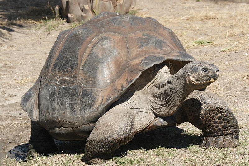 tortuga-galapago-gigante