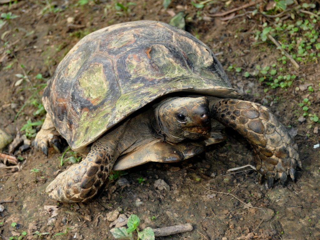 tortuga-gigante-asiatica-manouria-emys-2