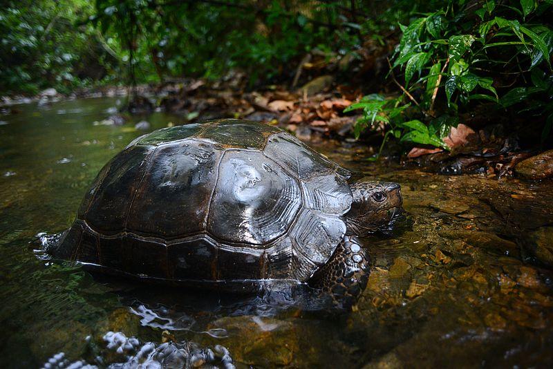 tortuga-gigante-asiatica-manouria-emys