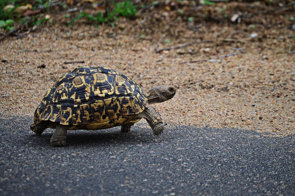tortuga-leopardo