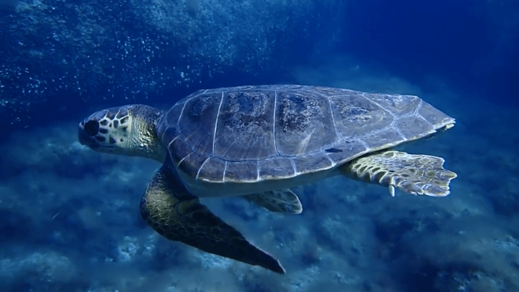 tortuga-marina-nadando-oceanografic-2-min