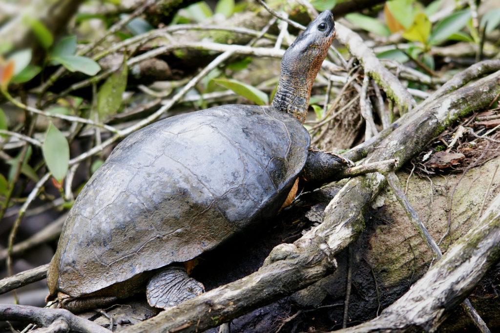 tortuga-negra