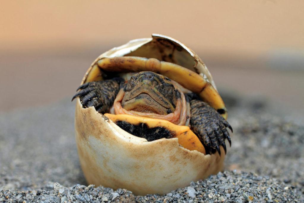 tortuga-no-puede-abrir-ojos