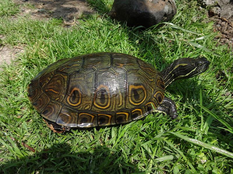 tortuga-japonesa-pavo-real-hicotea-mesoamericana