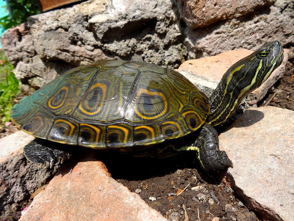 tortuga-pavo-real-hicotea-trachemys-venusta