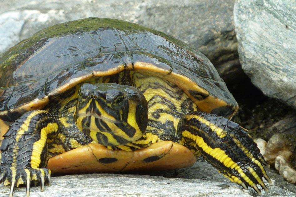tortuga-rio-trachemys-scripta-emydidae