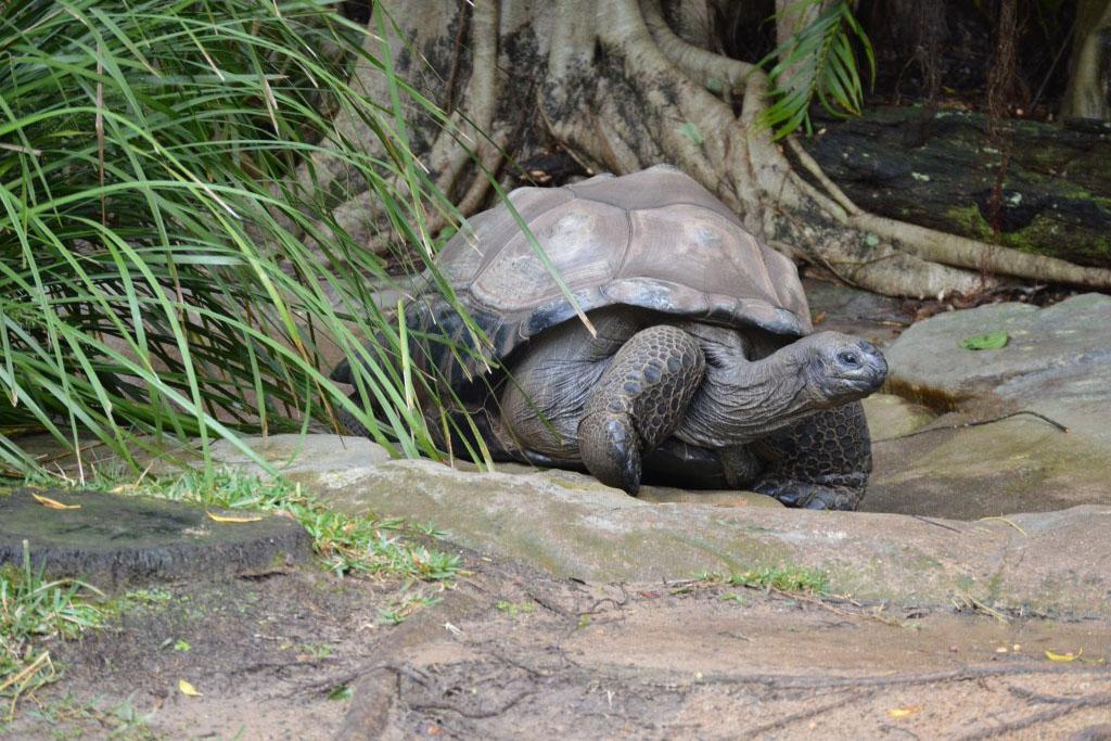 tortuga-sulcata-africana