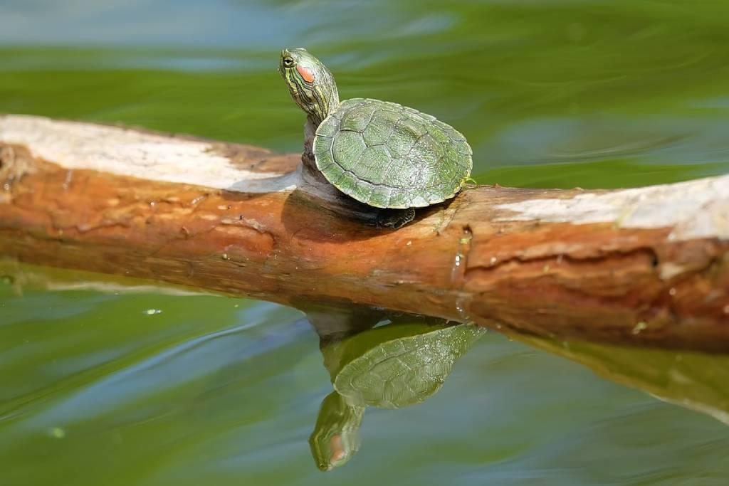 tortugas-domesticas-mascota